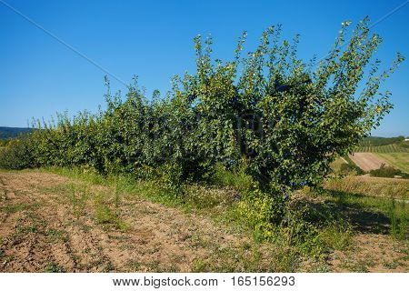 Plantation of Plum fruit in Fruska Gora National Park, Serbia