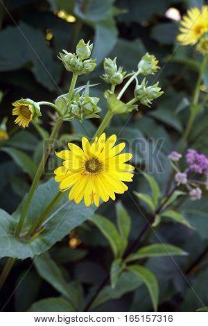 Wild cup plants (Silphium perfoliatum) bloom in Harbor Springs, Michigan during August.