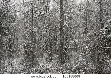 Snow gently falling in a forest on a winter day.