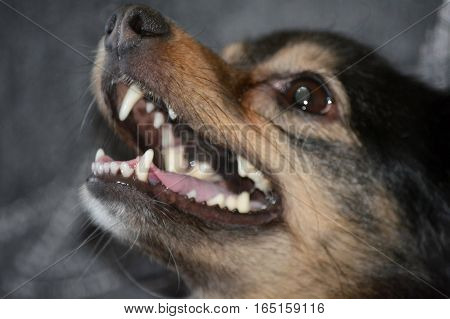 Portrait of a dog with open mouth close-up