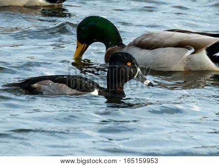 RING NECKED AND MALLARD DUCK IN POND