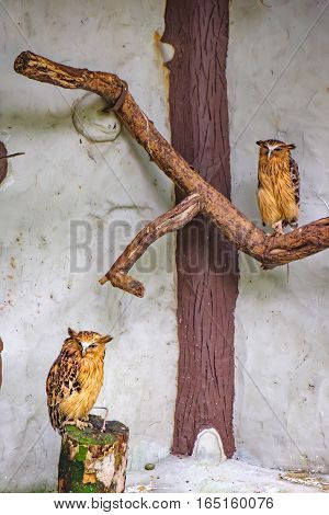 Buffy fish owls Bubo ketupu Malay fish owl sitting on a tree in Kuala Lumpur Bird park, Malaysia. Its natural habitat is wet tropical forests near water banks of rivers lakes and fish ponds.
