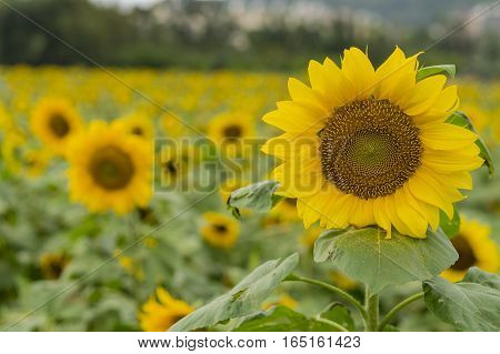 Close Up Shoot Of Sunflower