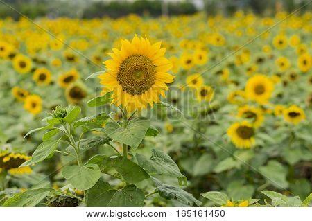 Close Up Shoot Of Sunflower