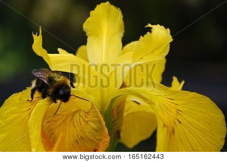 close up of honey bee gathering pollen