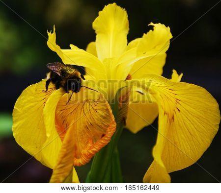 Bumble bee gathering pollen on yellow iris