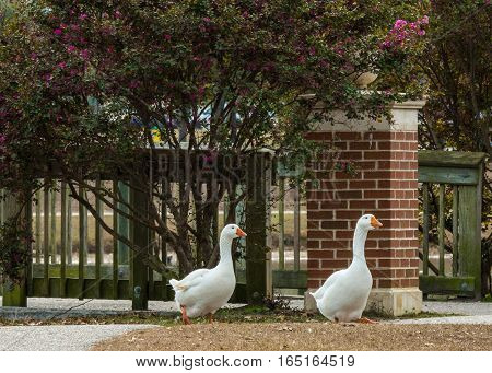 TWO SNOW GEESE WALKING IN THE PARK WITH FENCE AND TREES IN THE BACKGROUND