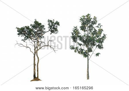 tree on white background  isolated green nature