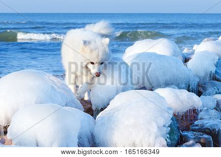White Samoyed dog playing near the breakwater which is covered in ice
