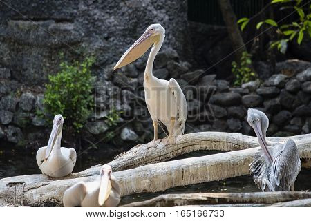White Pelican Pelecanus onocrotalus also known as the Eastern White Pelican Rosy Pelican or White Pelican is a bird in the pelican family