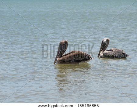 Two Pelicans Floating in the Ocean by the beach at Fort Myers Beach