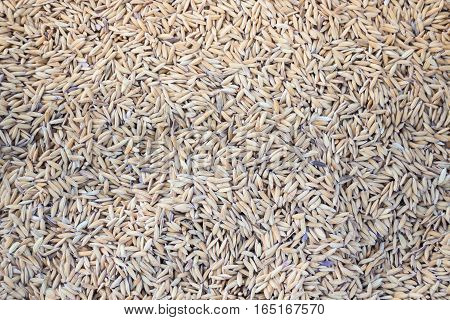Raw rice dried on field stock photo