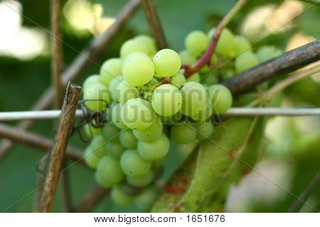 White Grape Bunch