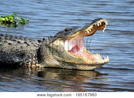 Large Alligator with mouth wide open lounging in a river in South Sarasota, FL.  USA