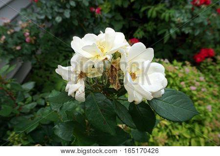 White roses bloom in a garden in Joliet, Illinois during June.