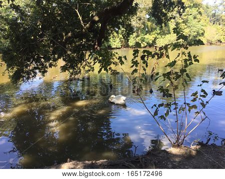Swan At The Shore