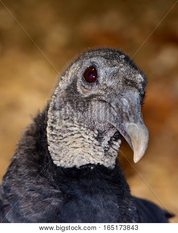 American black vulture (Coragyps atratus) bokeh background. Closeup shows details of head neck and eye.