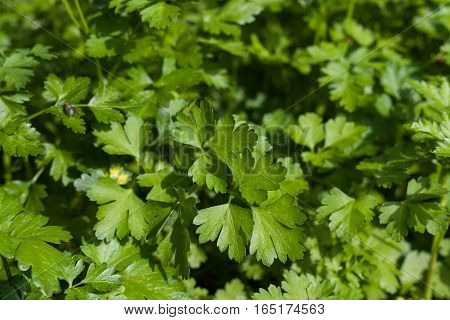 fresh green parsley leaves as a background.