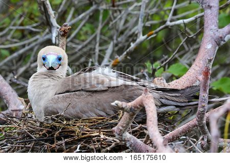 Red-footed Booby (sula Sula) Sitting On A Nest