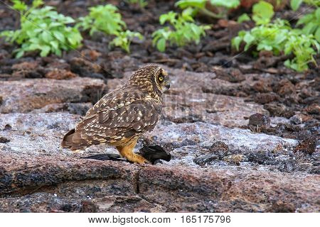 Short-eared Owl With A Prey, Genovesa Island, Galapagos National Park, Ecuador