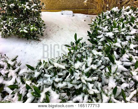 snow covers bushes in the front yard