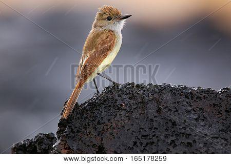 Galapagos Flycatcher On Santiago Island, Galapagos National Park, Ecuador