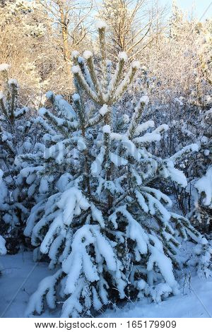 The small fluffy fir-tree covered with white snow