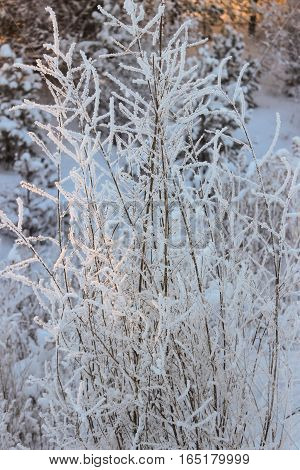 The grass beauty  covered with white hoarfrost