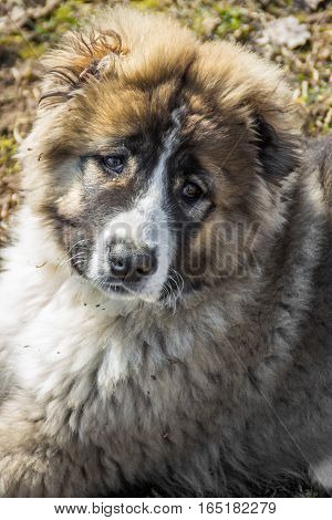 portrait  of beautiful Fluffy Caucasian shepherd dog