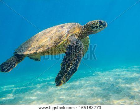 This female is crusing the ocean near Maui.