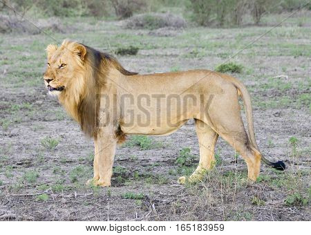 African Male Lion: Close up taken in South African bush