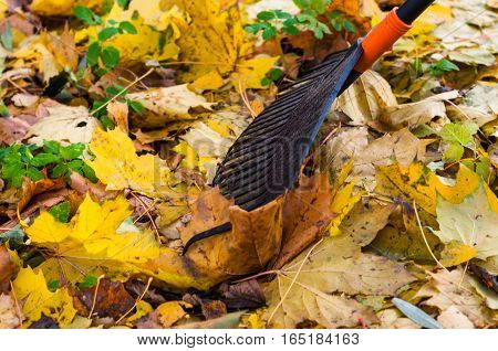 grab yellow autumn leaves with rake outdoors
