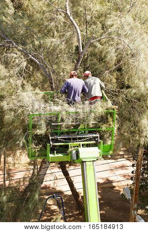 Two gardeners on lifting car platform trimming the tree.