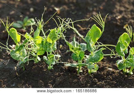 Growing Pea Seedlings