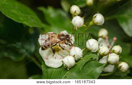 Bee On Blooming Whitethorn