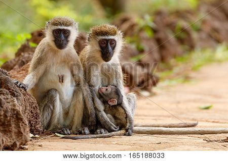 Pair of vervet monkeys with a nursing infant looking at the camera with out of focus background at Samburu National Reserve Kenya