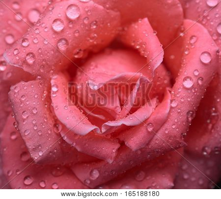 Macro from above of pink rose flower head with water drops on petals