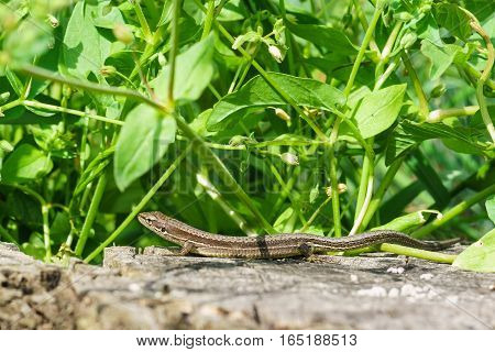 Pontic lizard Darevskia pontica (Rock lizards) on an old stump