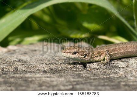 Portrait of the Pontic lizard Darevskia pontica (Rock lizards)