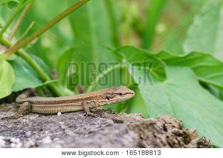 Pontic lizard Darevskia pontica (Rock lizard) sitting on a rock
