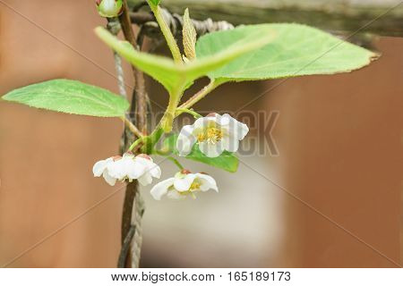 A branch of the Chinese Magnolia vine (lat. Schisandra chinensis) flowers