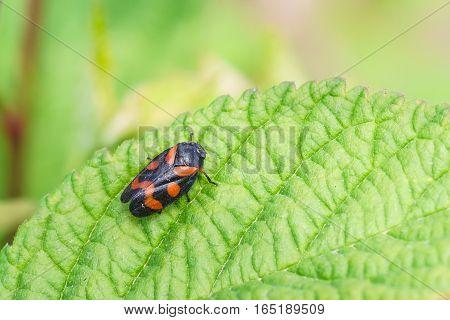 Pennica kunavich cercopis krasnopenskaya (lat. Cercopis sanguinea) is a species of cicadina of the family of Pennisi (lat. Cercopidae)