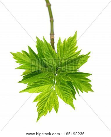 Spring twigs of maple ash (acer negundo) with young leaves. Isolated on white background.