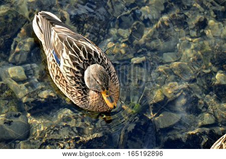 Female bird of wild duck (mallard) swims in the water in sunshine above view