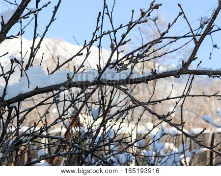 White snowflakes on the branches of a cherry