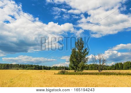 Summer landscape. Live and dead tree in the middle of a wheat field