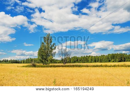 Rural landscape. Live and dead tree in the middle of a wheat field in summer day