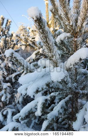 White snow drifts on the branches of trees