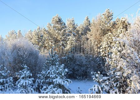 Trees on the edge of the winter forest