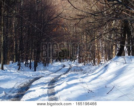 Path and traces in desolate wooden forest avenue with two rows of trees sides in Beskid Mountains near city of BIELSKO-BIALA at POLAND in cold and sunny winter day, EUROPE, DECEMBER.